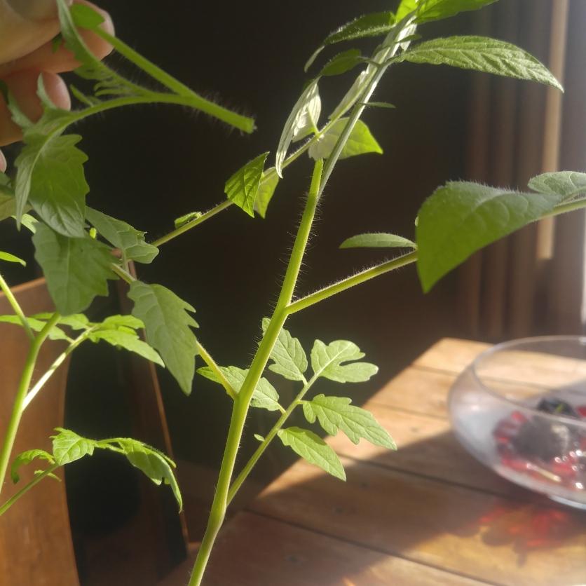 Original seedling, about 6 weeks old
