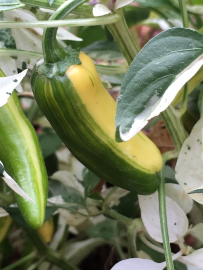 Fish pepper, edible at this stage but not yet ripe